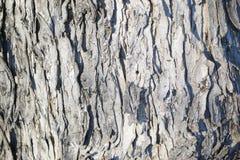 Maple tree bark closeup Royalty Free Stock Photos