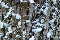 Maple tree bark in the Gatchina park in winter. Royalty Free Stock Photos