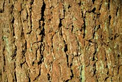 Maple Tree Bark With Many Deep Cracks Stock Photo