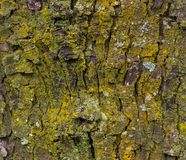 Maple tree bark with moss close up. Royalty Free Stock Image