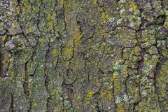 Maple tree bark with moss close up. Stock Image
