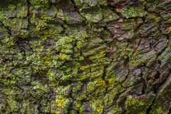 Maple tree bark with moss close up. Stock Photo