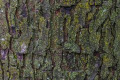 Maple tree bark with moss close up. Royalty Free Stock Photography