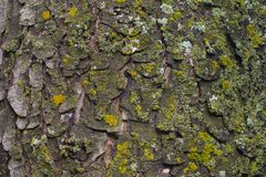 Maple tree bark with moss close up. Stock Images