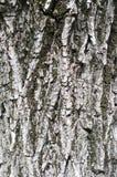 Maple tree bark texture Royalty Free Stock Image