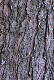 Maple tree bark Royalty Free Stock Photography