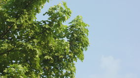A Maple Tree stock footage