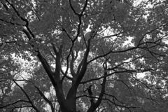 Maple tree in black and white royalty free stock photo