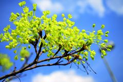 Maple tree blooming on blue sky background Stock Images