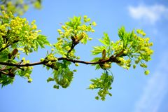 Maple tree blooming on blue sky background Stock Photography