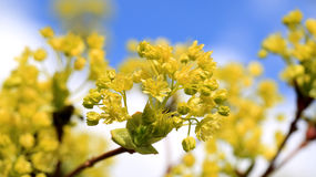 Maple Tree Blossoms against Sky Stock Images