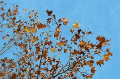 Maple tree and blue sky. In autumn Stock Photo