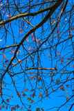 Maple tree with blue sky in autumn. Stoke park, Guildford, UK Royalty Free Stock Photo