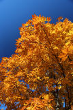 Maple Tree and Blue Sky. Colorful maple tree during a Wisconsin autumn Royalty Free Stock Photography