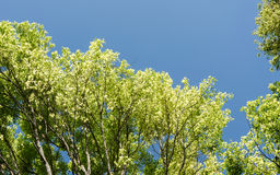 Maple tree with blue sky Royalty Free Stock Photo