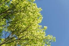 Maple tree with blue sky Stock Photos