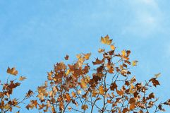 Maple tree and blue sky. In autumn Stock Photography