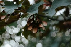 Maple tree bokeh Royalty Free Stock Image
