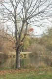 Maple tree in border river with autumnal leaves Royalty Free Stock Photo