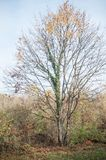 Maple tree in border river with autumnal leaves Royalty Free Stock Photos
