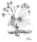 Maple tree, botanical vintage engraving Stock Image