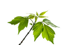 Maple tree branch Royalty Free Stock Photo