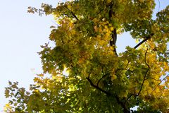 Maple tree branch foliage on autumn day royalty free stock image