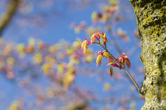 Maple tree branch Royalty Free Stock Images
