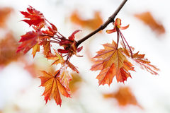 Maple tree branch with fresh red leaves. Spring nature landscape. soft focus. Maple tree branch with fresh red leaves. Spring nature landscape Stock Photos