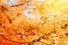 Maple tree branch in park sunny day. Maple tree branch in park - beautiful orange color ready for the autumn Royalty Free Stock Photo