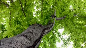 Maple Tree Branch Reaching Out royalty free stock photography