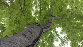Maple Tree Branch Reaching Out. A DOF shot of a maple tree branch reaching outward stock images