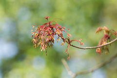 Maple tree branch Stock Photography