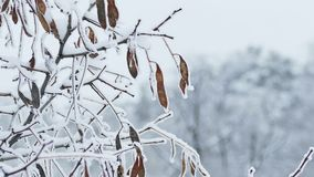 Maple tree branch winter frozen nature stock video