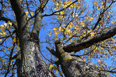 Maple tree branch with yellow leaves against blue sky Stock Photos
