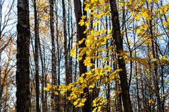 Maple tree branch with yellow leaves in urban park Stock Photo