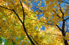 Maple tree branches. Background, autumn in Canada Stock Images