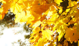 Maple tree branches in autumn Stock Images