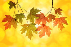 Maple Tree Branches with Blurred Background Stock Photos