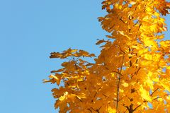 Maple tree branches with golden leaves against blue sky. Space for text stock photography