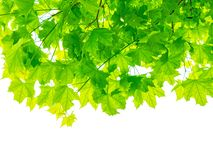 Maple tree branches with green leaves isolated on white background.  stock photos