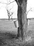 Maple tree and bucket Royalty Free Stock Photos