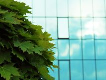 Maple tree on a building background blurred royalty free stock images