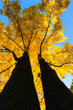 Maple Tree Canopy Stock Image