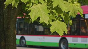 A Maple Tree in the City stock video footage