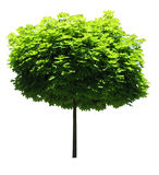 Maple tree; Clipping path included Royalty Free Stock Image
