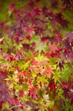 Maple tree close up in Fall Stock Photos