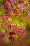 Maple tree close up in Fall Stock Photography