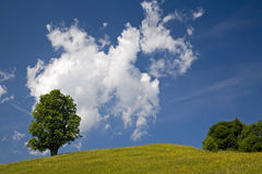 Maple tree and clouds. Maple tree in summer in front of cloud sky Stock Image