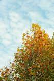 Maple tree and cloudy sky. In autumn Stock Photos